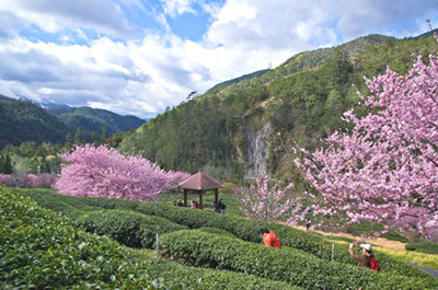 Cherry Blossoms, Wuling Farm, Taichung City, Taiwan