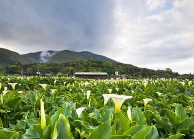 Calla Lillies on Bamboo Lake, Yang Ming Mountain, Taipei City, Taiwan